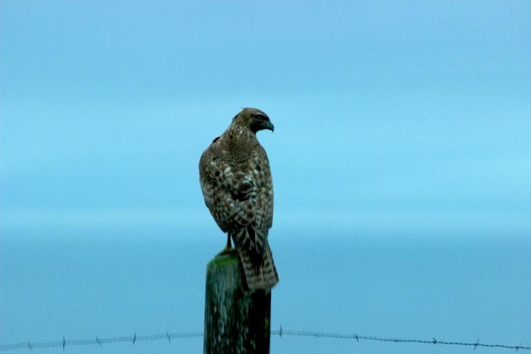 Pt Reyes Hawk